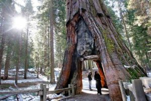 Mariposa Grove Big Tree Yosemite